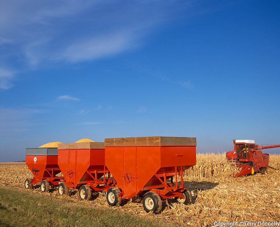 Bureau County, IL<br /> Grain wagons and combine harvesting corn