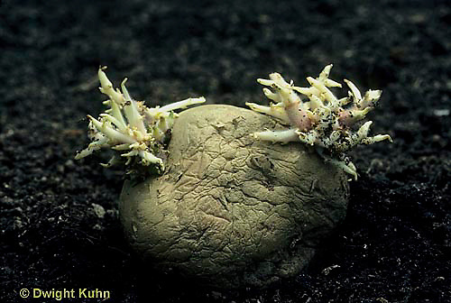 HS05-002c  Potato - tuber with new sprouts at eyes, asexual reproduction