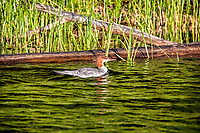 Summer at Clear Lake in the Willamette National Forest, Oregon. A female Merganser swims along in the water.