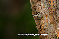 01196-031.19 Red-bellied Woodpecker (Melanerpes carolinus) nestling in nest cavity, Marion Co. IL