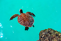 A green sea turtle (or honu) comes up for air in the amazing turquoise water of Kiholo Bay, Big Island of Hawai'i.