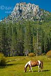Grazing Horse, Iceberg Meadow, The Iceberg, Carson-Iceberg Wilderness, Stanislaus National Forest, Sierra Nevada, California