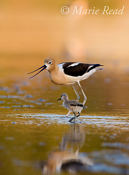 American Avocet (Recurvirostra americana), adult calling to approaching chick, Orange County, California, USA