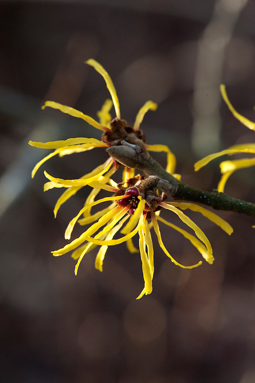 Chinese witch hazel (Hamamelis mollis 'Coombe Wood'), end January.