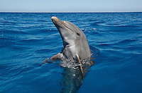 qk1839-D. Bottlenose Dolphin (Tursiops truncatus). Honduras, Caribbean Sea..Photo Copyright © Brandon Cole. All rights reserved worldwide.  www.brandoncole.com..This photo is NOT free. It is NOT in the public domain. This photo is a Copyrighted Work, registered with the US Copyright Office. .Rights to reproduction of photograph granted only upon payment in full of agreed upon licensing fee. Any use of this photo prior to such payment is an infringement of copyright and punishable by fines up to  $150,000 USD...Brandon Cole.MARINE PHOTOGRAPHY.http://www.brandoncole.com.email: brandoncole@msn.com.4917 N. Boeing Rd..Spokane Valley, WA  99206  USA.tel: 509-535-3489