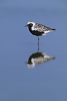 Black-bellied Plover (Pluvialis squatarola), adult resting, South Padre Island, Texas, USA