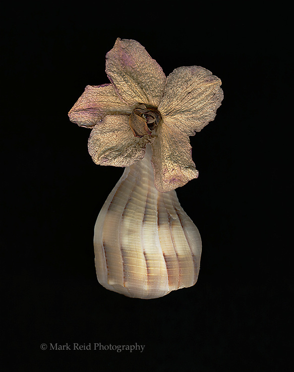 Still life of a flower and a sea shell