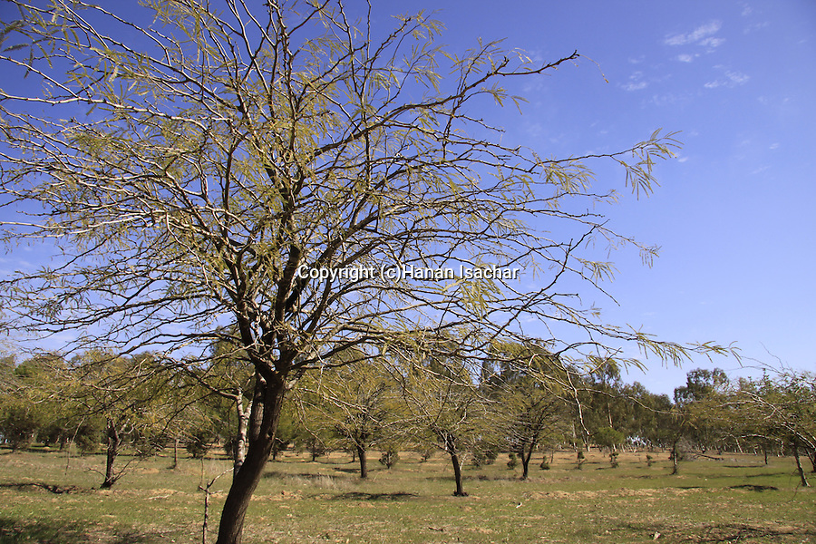 Israel, Northern Negev, Ruhama forest in the Besor region