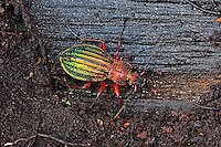 Goldglänzender Laufkäfer, Carabus auronitens, golden ground beetle