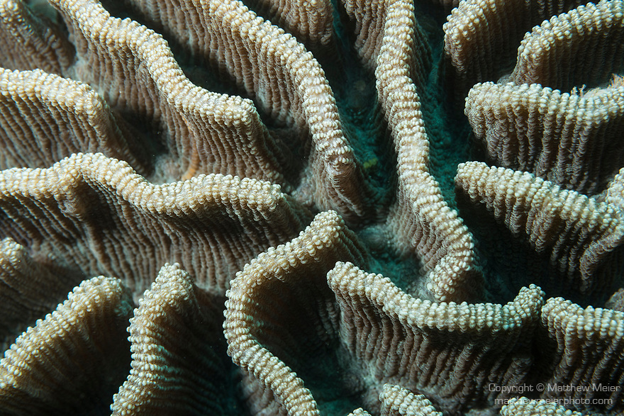 Puerto Galera, Oriental Mindoro, Philippines; a detail view of deep channel brain corals