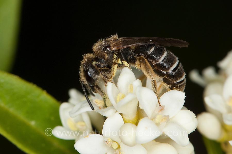 Dickkopf-Furchenbiene, Furchenbiene, Schmalbiene, Weibchen, Halictus maculatus, Tythalictus maculatus, female, sweat bee, flower bee, halictid bee