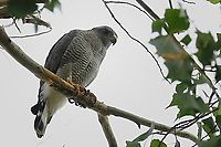 Gray Hawk, Big Bend National Park, Texas