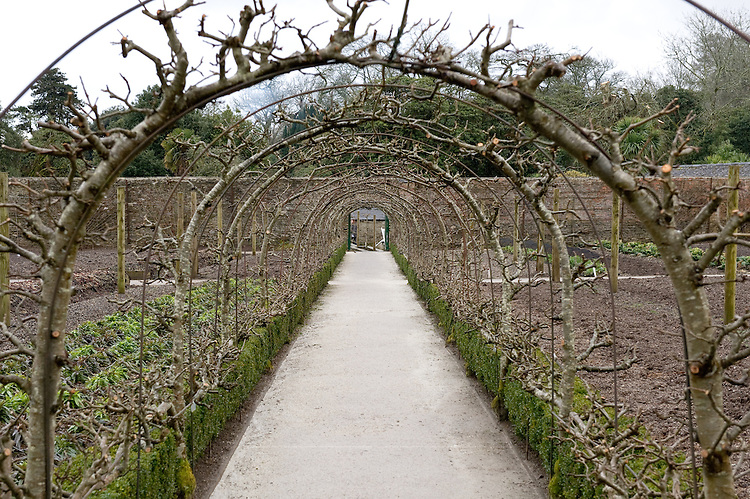 Tunnel of apple trees trained into arches, Heligan, Cornwall, mid February.
