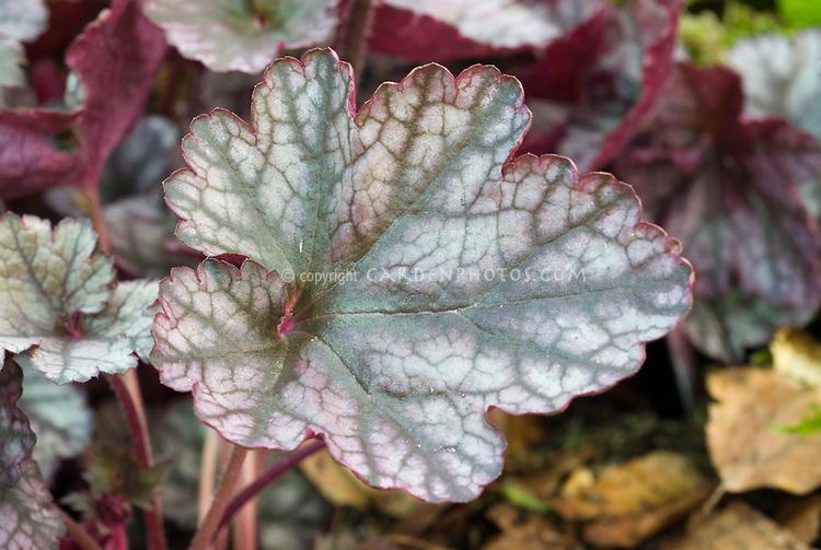 Ornamental foliage plant Heuchera 'Silver Scrolls'