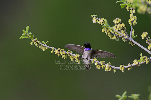 Black-chinned Hummingbird (Archilochus alexandri), adult male landing on blooming Texas persimmon (Diospyros texana), Hill Country, Texas, USA