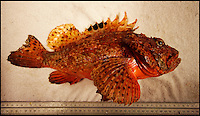 BNPS.co.uk (01202 558833).Pic: DeclanMacgabhann/BNPS..The deadly Red Scorpion fish (Scorpaena scrofa) caught alive off the south coast of Ireland by the Dublin based trawler Eblana...Scorpion fish are the deadliest species of fish in the world and is normally native to the warm waters of the Mediterranean and not the cold waters of the UK...Skipper of the Eblana Brendan spotted the bright coral-colored fish in his net trawled from a depth of100m off Waterford last month. ..Wary of its deadly spines, Brendan carefully placed it in a separate holding tank. And called Declan MacGabhann of the Sea Fisheries Protection Authority...Declan said 'This is only Scorpaena scrofa fish ever caught in the waters around the British Isles since records began in the 19th century. There have been a handful of reports of its smaller cousin Scorpaena porcus but very rarely. the seas are definately getting warmer and we can expect more of these exotic species to appear'...The unique specimen is now the star exhibit at the Dingle Oceanworld Aquarium.