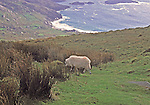 "View towards Ballinskelligs Bay from the Kerry Ring Road.  Sheep has the ""color"" marker of the owner"