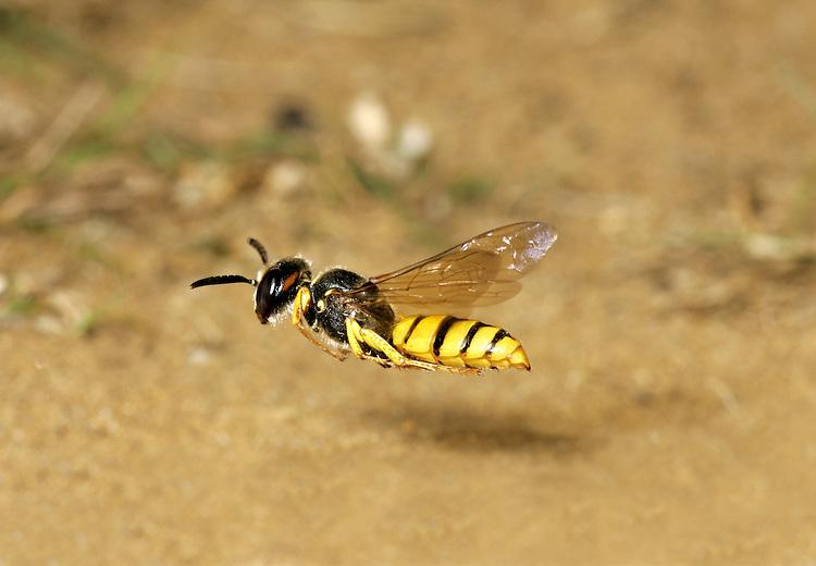 Bee Wolf Wasp - Philanthus triangulum in flight.
