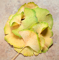Ginkgo biloba Fall Leaves..