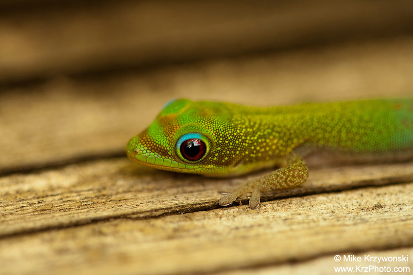 Madagascar Gold Dust Day Gecko, Oahu, Hawaii