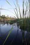 Swamp Woodbine