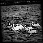 White pelicans in a group, Bolsa Chica, CA.