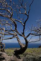 Wind blown shaped tree,El Sabinar, El Hierro, Canary Islands, Spain.
