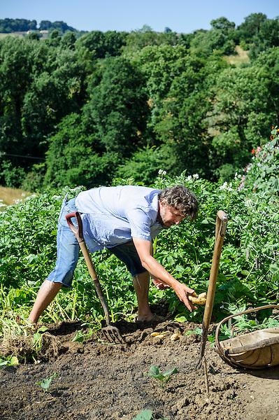 Harvesting  Amandine Potatoes