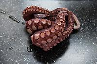 Pulpo / Octopus Photo: VizzorImage/ Gabriel Aponte / Staff