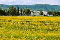 Field of yellow canola blossoms at Creamer's Field Migratory Waterfowl Refuge, Fairbanks, Alaska