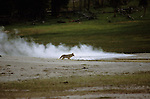 Coyote near a hot spring in Yellowstone National Park.