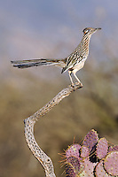 a greater roadrunner perched on a snag in the Arizona desert