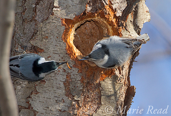 White-breasted Nuthatch (Sitta carolinensis) male brings food (centipede) to feed female outside their nest hole in treetrunk (Black Cherry), New York, USA