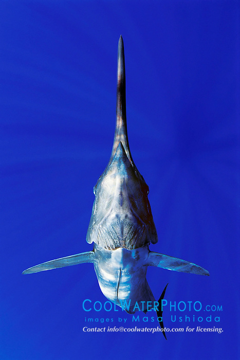 Blue Marlin, Makaira nigricans, off Kona Coast, Big Island, Hawaii, Pacific Ocean, Digital Composite.