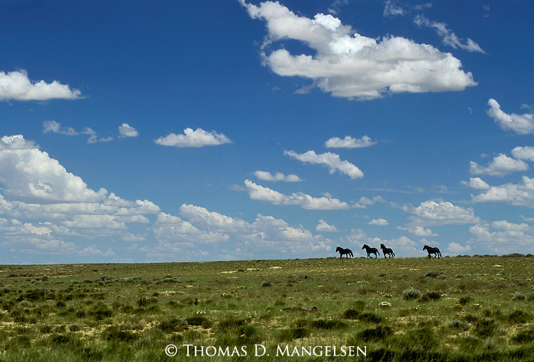 Wild horses run across the Red Desert in Wyoming.