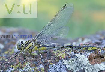 Plains Clubtail Dragonfly ,Gomphus externus,, North America.