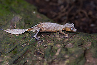 Africa; Madagascar, Analamazaotra special reserve in Andasibe-Mantadia National Park. Satanic leaf tailed gecko.