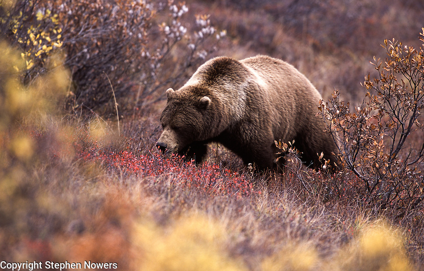 A brown bear in Denali National Park searches the fall foliage for berries.