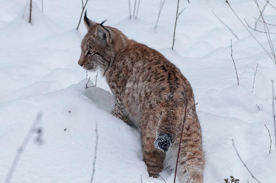 Lynx (Lynx lynx) in diepe sneeuw