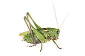 Wartbiter - Decticus verrucivorus - male