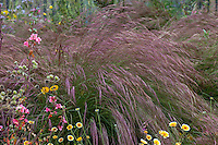 Aristida purpurea, Purple Three Awn grass with California native plants in pollinator garden at Los Angeles Natural History Museum