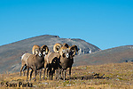 Bighorn sheep rams  on alpine tundra during summer. Rocky Mountain National Park, Colorado.