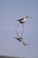 Timor-Leste (Birds)