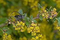 Kleiner Eichenbock, Buchenspießbock, Skopolis Bockkäfer, Spießbock, Buchenbock, Runzelbock, Cerambyx scopolii, beech capricorn beetle, small oak capricorn beetle
