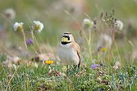 Male Horned Lark or Shore Lark (Eremophila alpestris) singing.  Western U.S., Summer.