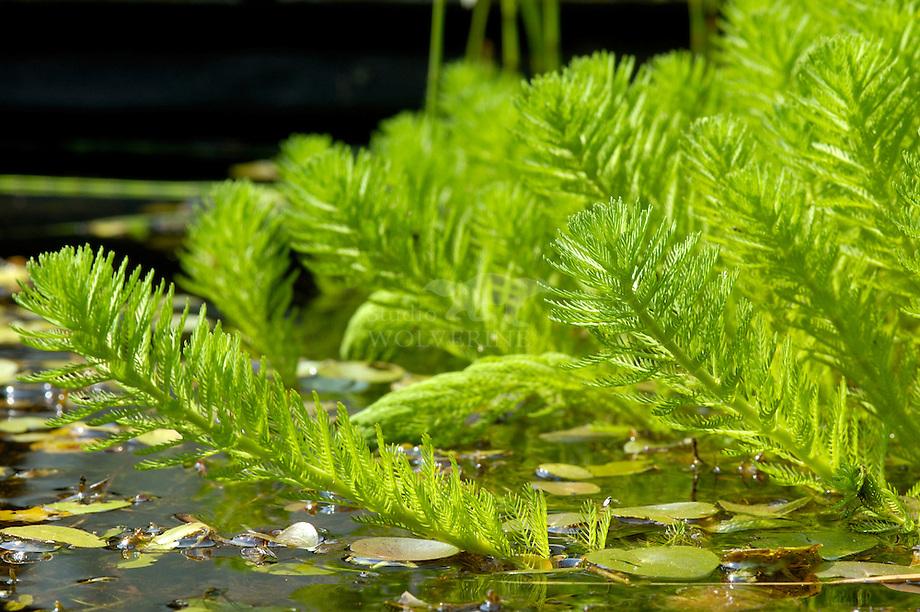 Parelvederkruid (Myriophyllum aquaticum) en kikkerbeet