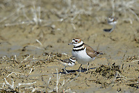 554550028 a wild adult kildeer charadrius vociferous provides protection for its very young chicks in a dry lake bed in ventura county california united states
