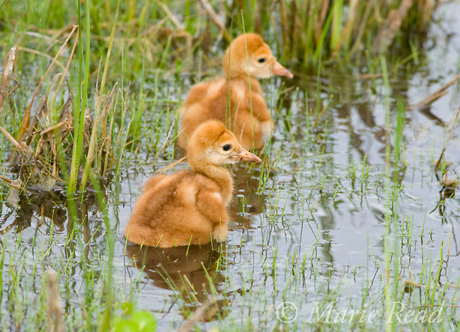 Sandhill Crane (Grus canadensis), Florida race, two chicks a few days old in a wetland, near Kissimmee, Florida, USA