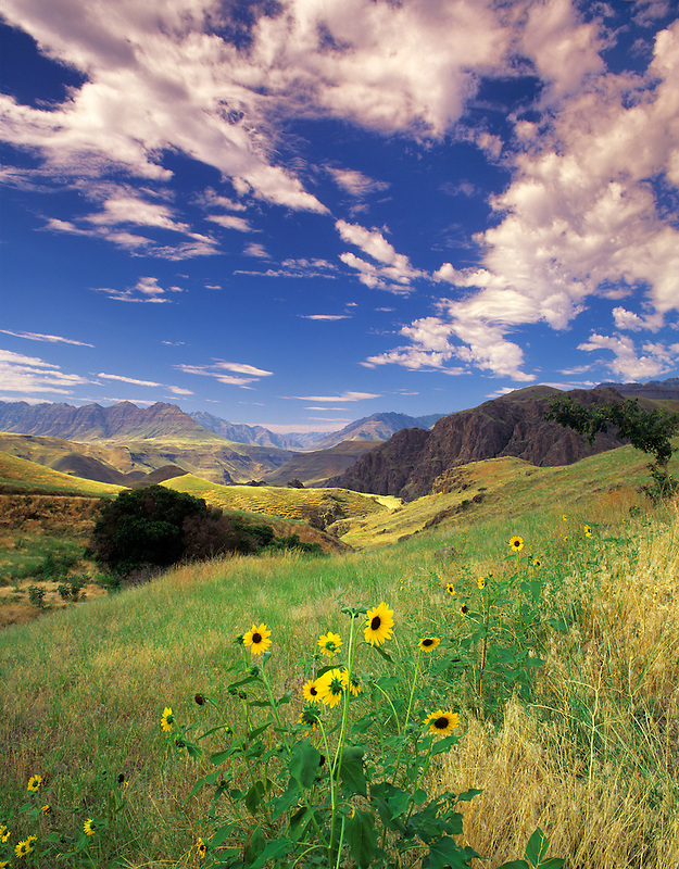 Dasies in Hells Canyon National Recreation Area. Oregon.