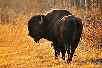 Plains bison is the largest land animal in North America. Grazing